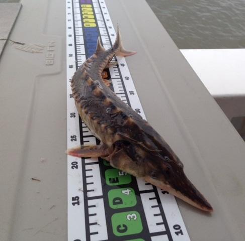 TUFFLabels for Measuring Ocean fish